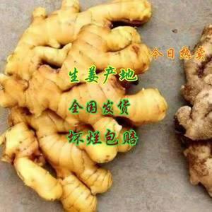 15092967272手机微信同号 山东优质生姜种植基...