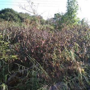 广西省百色市凌云县有一千多亩野生板蓝根
