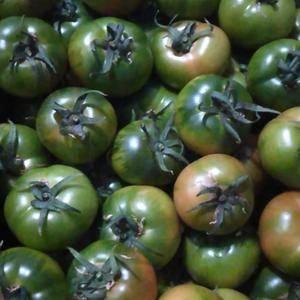 铁柿子,草梅柿子,油柿子批发