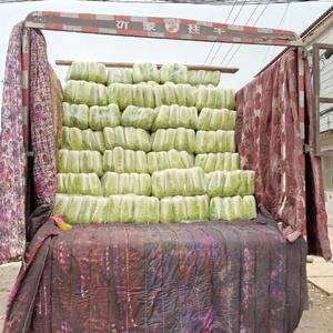山东济南肥城平阴地区每年十月份左右北京新三号白菜大量上市...