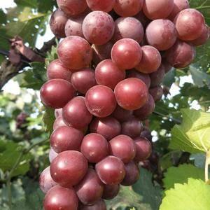 套袋【巨峰葡萄】,粒大,糖分高,一手货源。1503044...