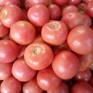 硬粉西红柿,精品。联系电话:13997739629