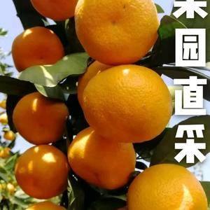 宜昌特早蜜桔大量上市中,果园看货采摘,以质论价。欢迎新老...