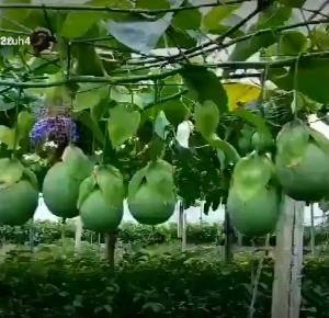 黄金百香果苗紫香百香果苗品种纯正