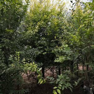 出售金叶榆 3-8公分 有需要的联系