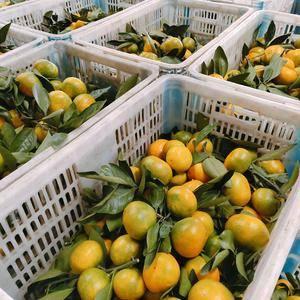 特早蜜橘大量销售中,果农一线交易,看园采果,诚信经营