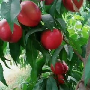 油桃新品种----中油27号 中油27号油桃是郑州果树...