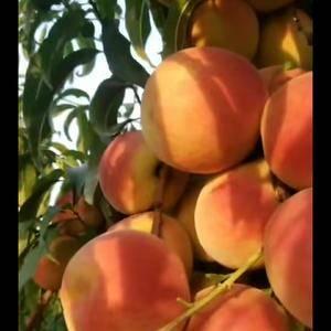 秋雪桃,是中秋节前后成熟的大果丰产型毛桃。看看照片吧!我...