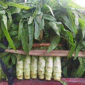 山东省兰陵红叶生菜大量上市中