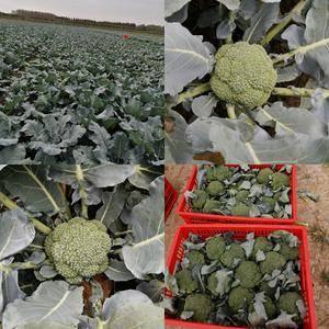 基地常年大量直供西兰花,质优价廉,量大更加优惠!以最优质...