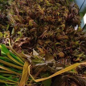 红油香椿!15cm到18cm
