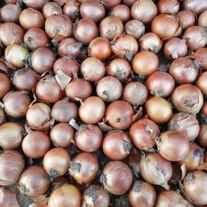 供应大量优质大毛葱头和毛葱栽子,大毛葱质量好,是市场上的...