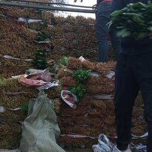本地大叶菠菜香菜大量供应中有需要的朋友给我联系了1510...