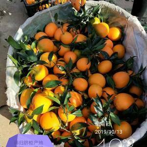 湖北秭归脐橙产地直销,果园看货,以质量定价格,现看现采