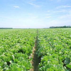 这里是规模宏大的蔬菜基地,冷库众多,蔬菜存储量巨大,每日...