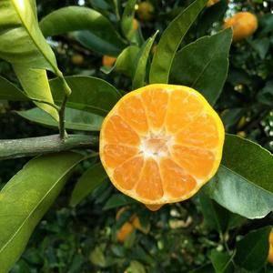 南丰蜜橘大量上市了,有需求的老板请联系。13767622...