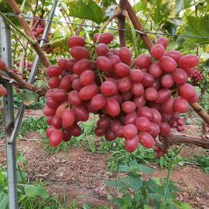 大面积克伦生葡萄已成熟联系电话18481565488