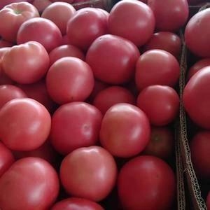 温室硬粉西红柿头穗,刚刚上市欢迎各位老板前来抢购!