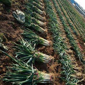 滕州铁杆大葱大量上市了,白长根细,粗细均匀