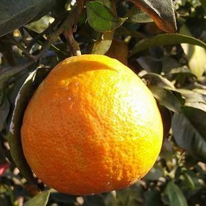 爱媛橙汁多肉甜,果肉可比果冻。皮为红红色