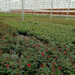 本公司常年大量供应: 15公分玫瑰月季扦插小苗,食用玫...
