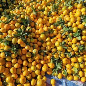 湖北丹江口习家店蜜桔大量上市了,欢迎全国各地客商前来采购