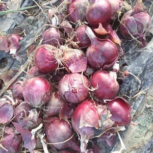 大量供应甘肃酒泉75以上紫洋葱,75以上红洋葱,信誉第一...