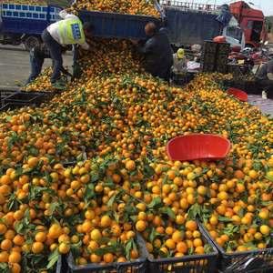武当蜜橘个大。味甜。现已大量上市:代办。托运。打腊。包装...