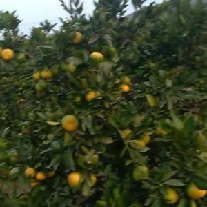 石门柑橘大量批发,或零售,有需要的联系我17873911...