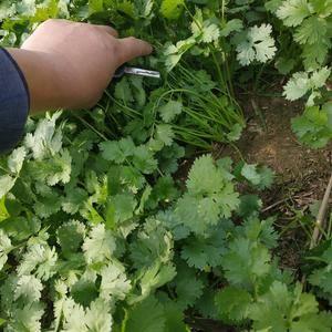 中叶铁杆青香菜香菜杆绿色泽好耐放冷库想储存的发市场的联系...