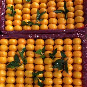 江西南丰蜜橘早熟上市了
