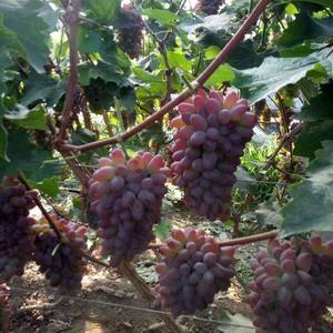 极品香葡萄也叫茉莉香,玫瑰香,着色香,色泽红润,口感好甜...