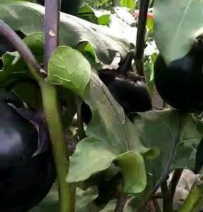 大批量嫩茄子上市,适合各大超市,高级饭店,高收入的人群消...