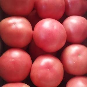 河北饶阳温室西红柿下来了,果型端正、色泽鲜艳亮丽,个头匀...