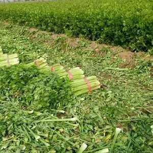 优质芹菜大量上市,有需要的请联系,13280407970