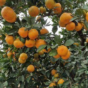 宜昌柑橘大量上市
