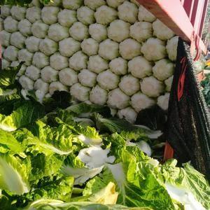 蔬菜基地大量供应玲珑黄、秋黄等黄心大白菜