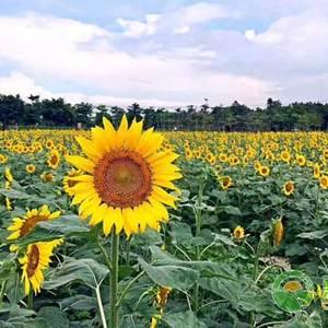 自家今年刚产的精品361向日葵出售大约有6万来斤☞有需要...