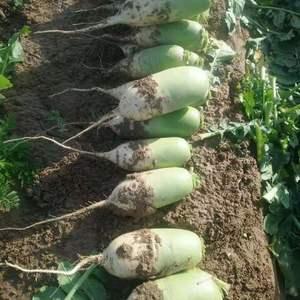 优质韩国白萝卜,200亩