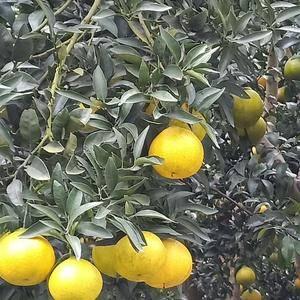四川丑橘不知火