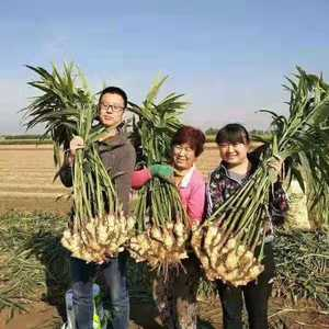 山东万亩优质姜母,黄姜,大黄姜,小黄姜,面姜,产地大量供...