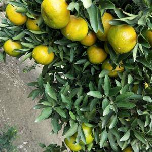 出产基地,椪柑鲜果大量有货
