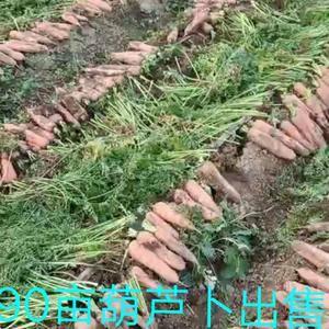 出售韩国七寸葫芦卜30多万斤!沟眼叉不带!