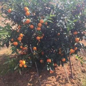 广西桂林大量沃柑,沙糖桔,脐橙上市,欢迎各地老板咨询,本...