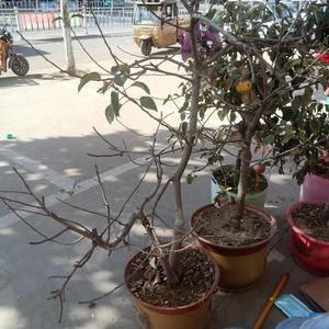 三年到五年生盆栽苹果树