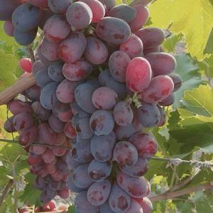 新疆克伦生葡萄大量出