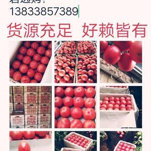 河北饶阳温室硬粉西红柿大量上市!通货、商品货、精品货都有...