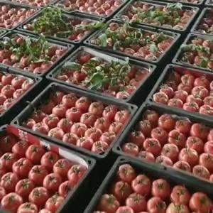 精品西红柿开始陆续上市