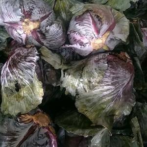 本人有紫甘蓝400吨急售,联系15966840085