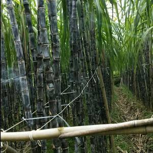 我的家乡是拥有上万亩甘庶种植基地,欢迎各界志同道合的老板...